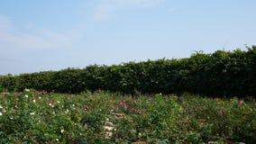 Un grand paysage de roses rouges Photographie stock libre de droits