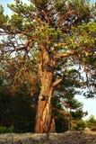 Un grand pin embranché s'élevant sur le sable Un bon nombre de tordre des branches photo stock