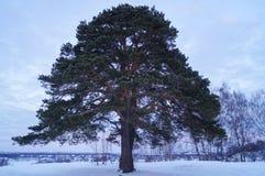 Un grand pin se tient seul en hiver image stock
