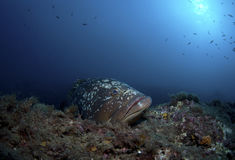 Un grand poisson sort sur la roche Photos libres de droits