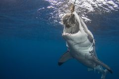 Un grand requin blanc attachant l'amorce image stock