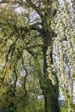 Un grand saule avec les branches tordues photographie stock libre de droits