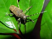 Un grand scarab?e de Longhorn de scarab?e Un scarab?e ?norme avec une grande moustache D?tails et plan rapproch? photos stock