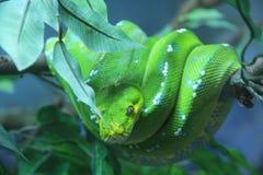 Un grand serpent Images libres de droits