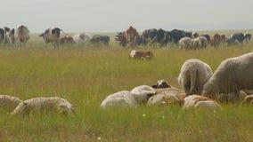 Un grand troupeau de vaches et les moutons dans le jour d'été se reposent dans le pâturage banque de vidéos