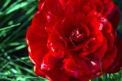 Un grand Tulipa rouge de tulipe de pivoine orne le lit de fleur dans le jardin photographie stock