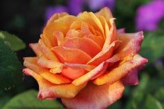 Un grande è aumentato nelle gocce di rugiada Piccole gocce su un bello fiore Un inglese è aumentato in un giardino dell'estate Fotografia Stock Libera da Diritti