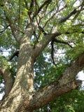 Un grande albero Fotografie Stock Libere da Diritti
