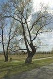Un grande albero accanto al percorso di asfalto immagini stock