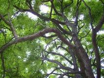 Un grande albero con i rami e le foglie verdi della curva su estate fotografia stock libera da diritti