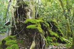 Un grande albero con muschio che cresce su  Immagini Stock Libere da Diritti