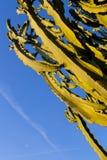 Un grande albero del cactus nel cielo Fotografia Stock Libera da Diritti