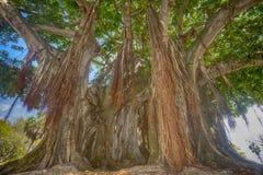 Un grande, albero di banyan maturo fotografie stock