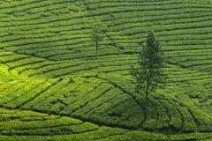 Un grande albero in mezzo ad un giardino di tè fotografia stock libera da diritti
