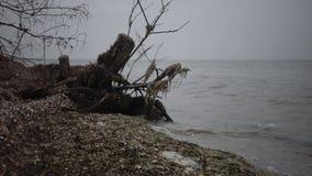 Un grande albero morto su una spiaggia sabbiosa, un giorno nuvoloso video d archivio