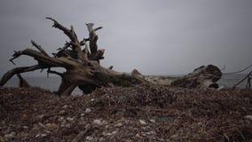 Un grande albero morto su una spiaggia sabbiosa, un giorno nuvoloso archivi video