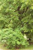 Un grande albero in pieno delle foglie verdi Fotografie Stock
