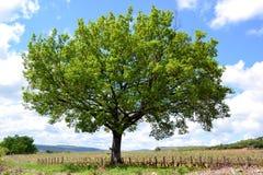 Un grande albero verde Immagini Stock