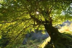 Un grande albero verde nell'ambito dell'indicatore luminoso del sole Immagini Stock