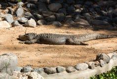 Un grande alligatore pericoloso Immagine Stock