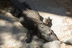 Un grande alligatore pericoloso nel parco dell'oasi su Fuerteventura Fotografie Stock