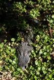 Un grande alligatore pericoloso nel parco dell'oasi su Fuerteventura Immagini Stock