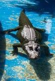 Un grande alligatore pericoloso nel parco dell'oasi su Fuerteventura Fotografie Stock Libere da Diritti