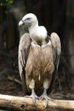 Un grande avvoltoio Immagini Stock