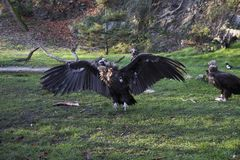 Un grande avvoltoio con le ali aperte fotografia stock