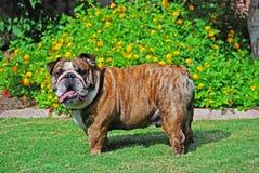 Un grande bulldog maschio Immagini Stock Libere da Diritti