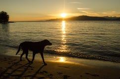 Un grande cane cammina lungo la spiaggia al tramonto fotografie stock libere da diritti