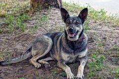 Un grande cane di iarda grigio si trova sull'erba e sulla terra e guarda Fotografia Stock Libera da Diritti