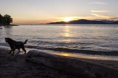 Un grande cane scuote dopo esce dall'acqua al tramonto fotografia stock