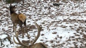 Un grande cervo reale maral sui precedenti di un parco della neve con i grandi corni e un daino, fugleman 4K stock footage