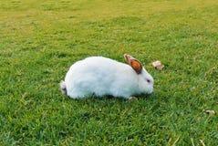 Un grande coniglio bianco con le orecchie e l'occhi rossi scuri che cammina mangiando Sn fotografia stock