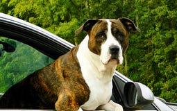Un grande dog& x27; s voi che mi esaminate alto vicino del fronte Fotografia Stock Libera da Diritti