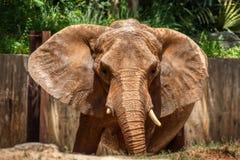 Un grande elefante africano che spande le sue orecchie largamente fotografia stock libera da diritti