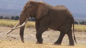 Un grande elefante che cammina nel fervore del giorno stock footage