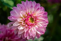 Un grande fiore della margherita è rosso-chiaro nel giardino Immagine Stock