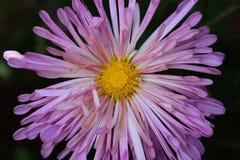 Un grande, fiore porpora luminoso della mummia Immagini Stock