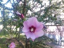 Un grande fiore rosa Immagini Stock