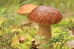 Un grande fungo grasso Fotografia Stock Libera da Diritti