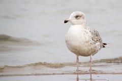 Un grande gabbiano alla spiaggia ha suoi piedi nell'acqua Immagini Stock