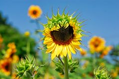 Un grande girasole del tipo in una toppa di altri fiori quasi in pieno fiorisce Fotografia Stock Libera da Diritti