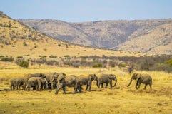 Un grande gregge degli elefanti e dei bambini che camminano nel parco nazionale di Pilanesberg fotografia stock