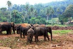 Un grande gregge degli elefanti marroni contro lo sfondo della giungla Fotografia Stock