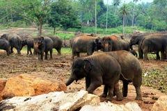 Un grande gregge degli elefanti marroni contro lo sfondo della giungla Fotografie Stock