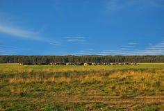 Un grande gregge delle mucche pasce Fotografia Stock