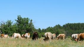 Un grande gregge delle mucche pasce sull'erba verde dall'agricoltura e dal bestiame della foresta stock footage