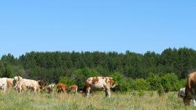 Un grande gregge delle mucche pasce sull'erba verde dalla foresta video d archivio